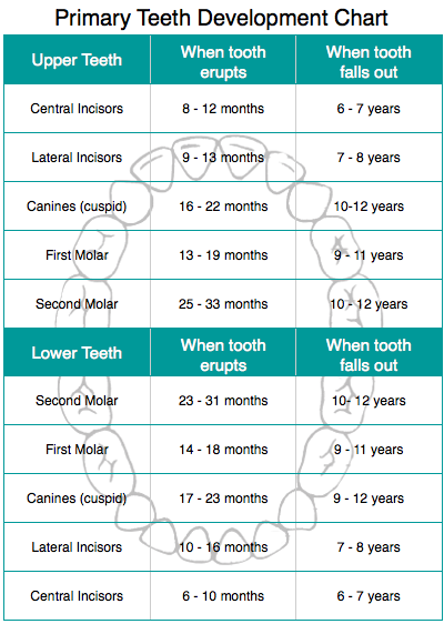 Corinna-Dental-Tooth-Eruption-Chart-Primary-Teeth