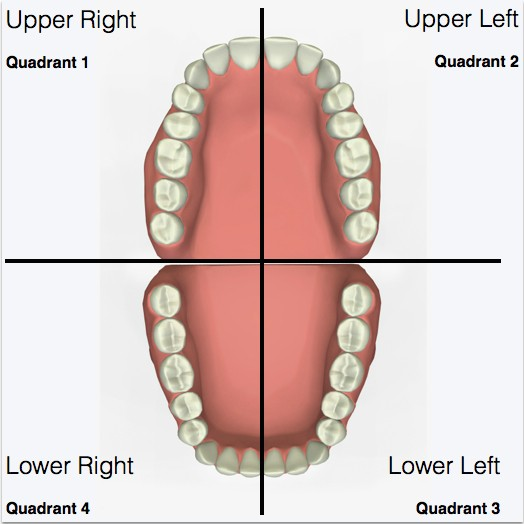 An illustration showing the quadrants of human mouth