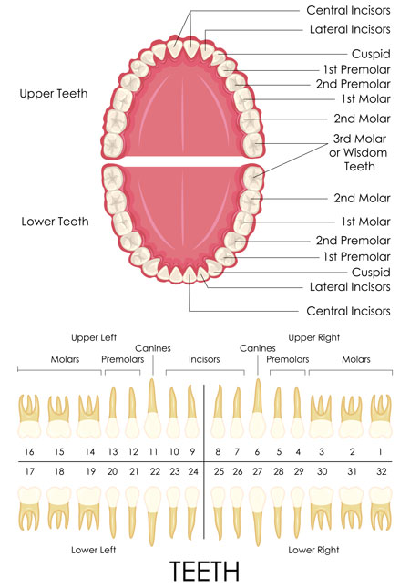An illustration of the US tooth numbering system